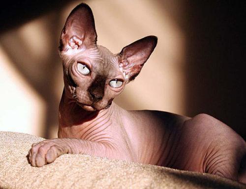 Кошка породы канадский сфинкс с большими ушами