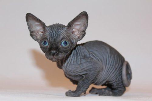 Котенок кошки породы канадский сфинкс