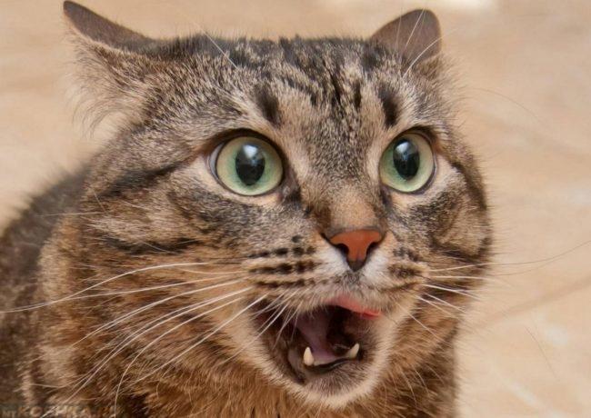Кашель у коричневого полосатого кота