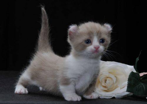 Кошка породы кинкалоу