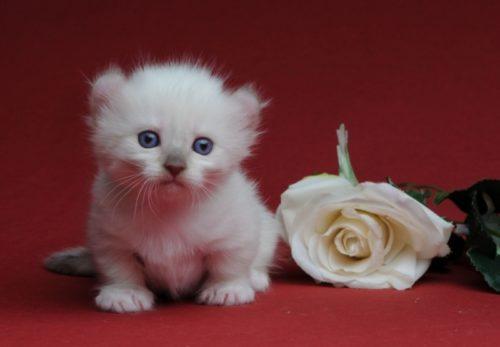 Кошка породы кинкалоу и цветок
