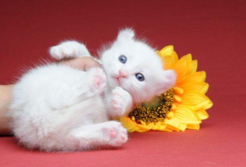 Кошка породы кинкалоу и желтый цветок