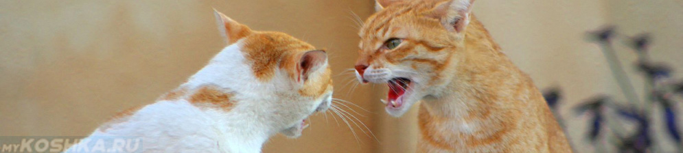 Рыжая кошка не подпускает к себе кота и шипит на него