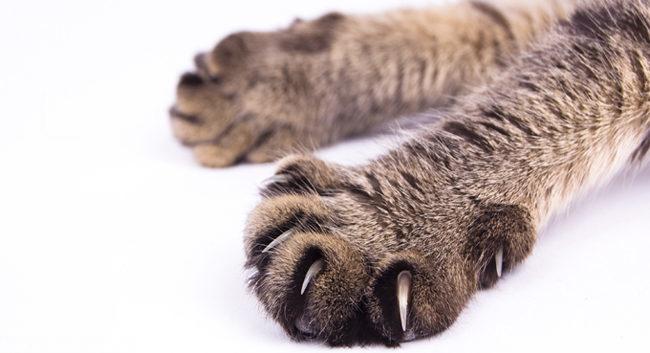 Когти у кошки на передней лапе