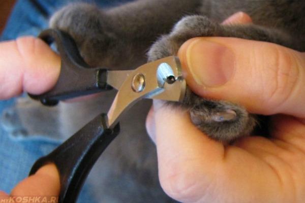 Когти серого кота подрезают специальными ножницами