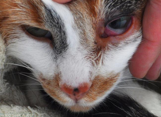 Конъюнктивит у кота в приближенном виде