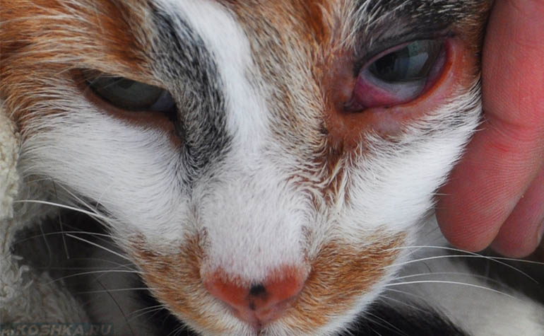 Что если у кота воспалился глаз что делать