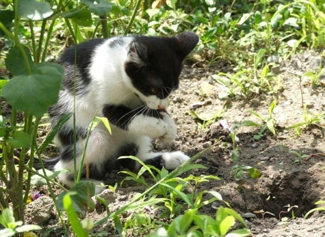 Черный с белым кот копающий землю