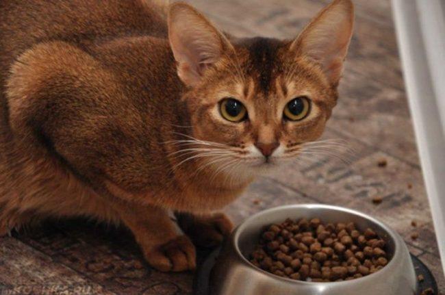 Рыжая кошка и сухой корм в миске
