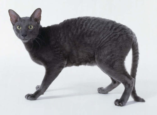 Серый кот породы корнишрекс