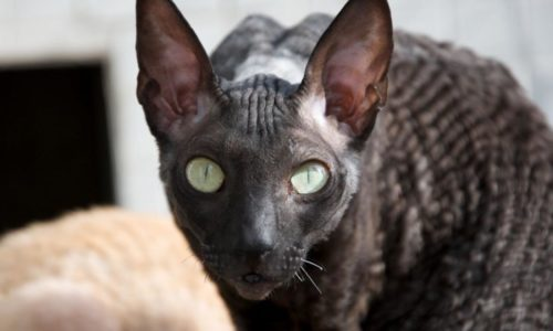 Черный кот породы корнишрекс