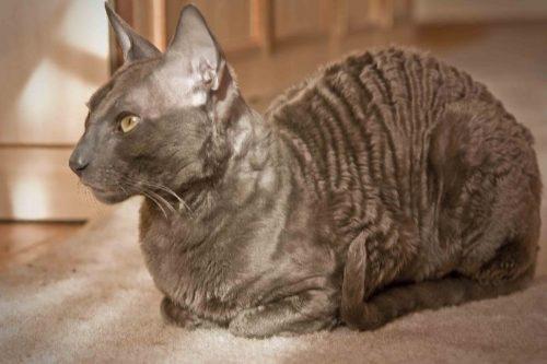 Коричневый кот породы корнишрекс