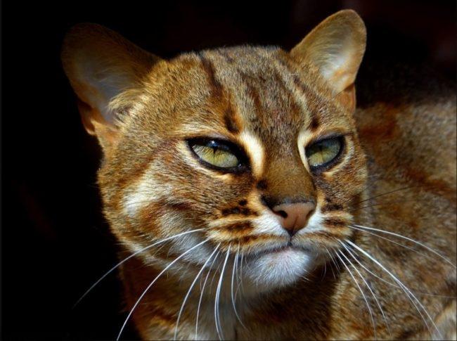 Маленькая дикая кошка с зелеными глазами