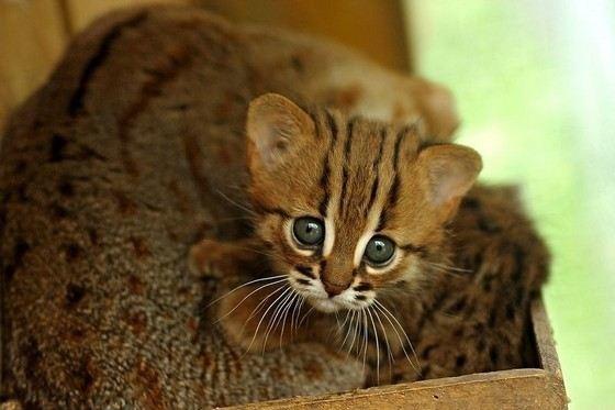 Маленькая дикая кошка сложила лапы на маму