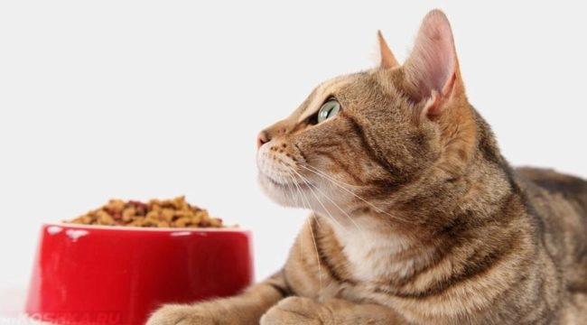 Кошка лежит рядом с полной миской и смотрит вверх