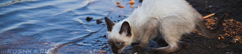 Уличная кошка пьёт воду из лужи
