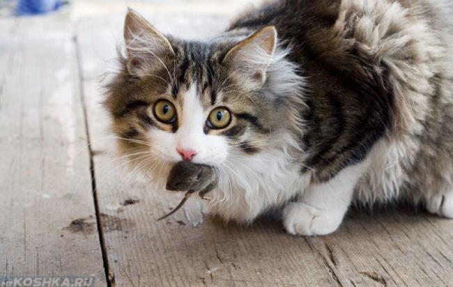 Кошка поймавшая серую мышь