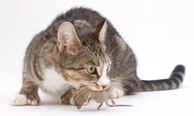 Серая кошка держащая в пасти серую мышь