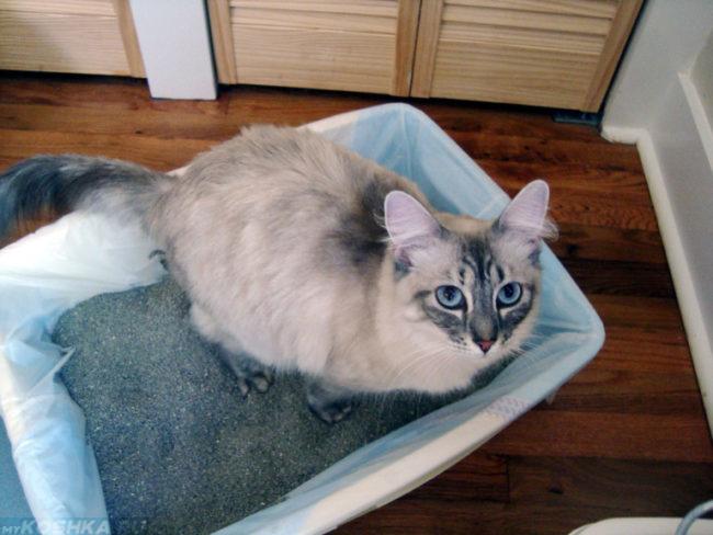 Серая кошка в лотке с наполнителем