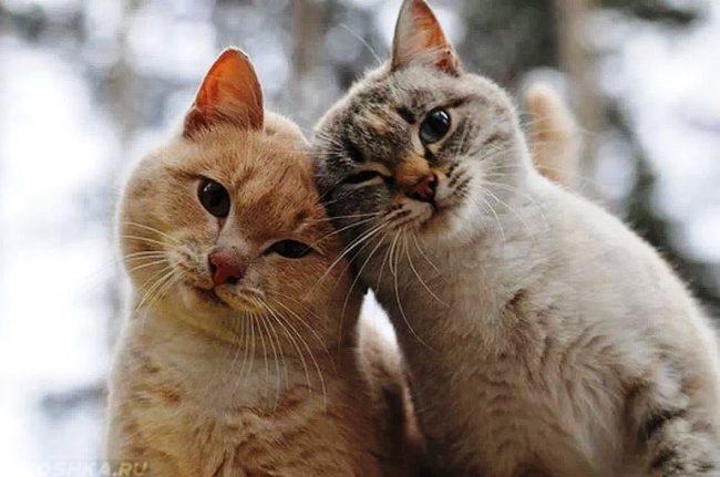 Рыжая кошка и серая кошка