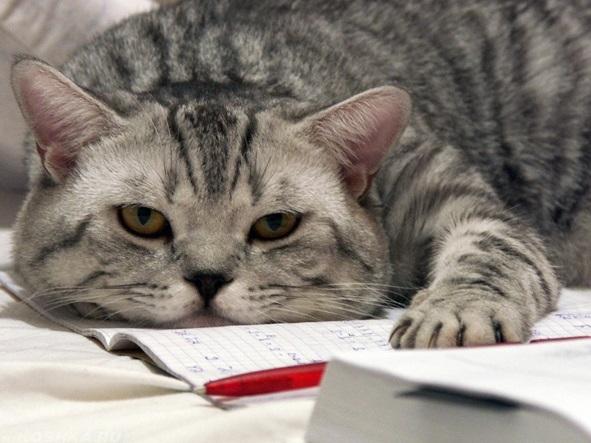 Серый вялый кот лежит