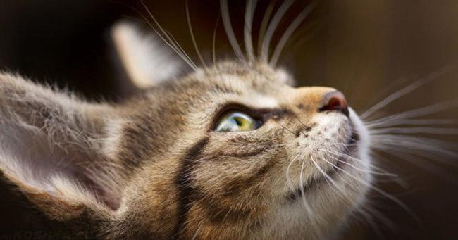 Кот с зелеными глазами смотрит вверх