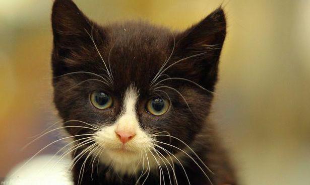 Чёрный котик с белой мордочкой и усами