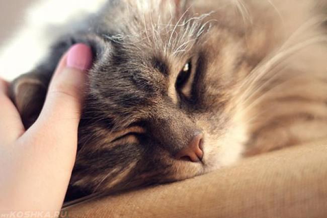 Рука гладит пушистого кота