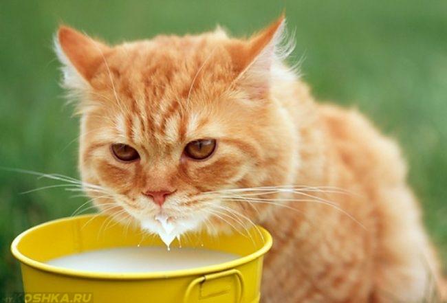 Рыжий кот пьющий молоко из желтой посуды