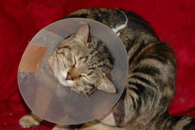 Кот снимающий защитный воротник