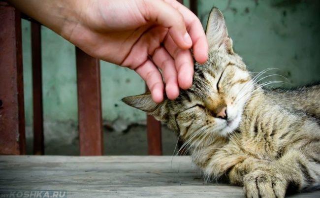 Урчащий кот и рука человека