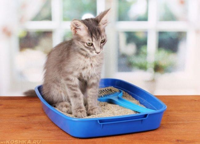 Серый пушистый кот в синем лотке с наполнителем