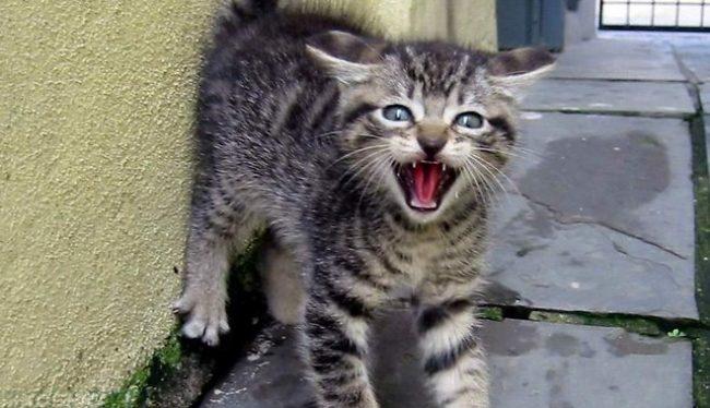 Серый котенок в состоянии стресса