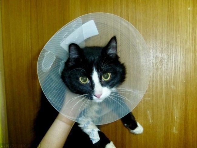 Защитный воротник у черного с белым кота