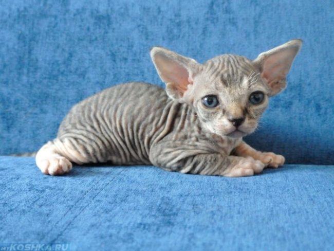 Котенок гипоаллергенной породы