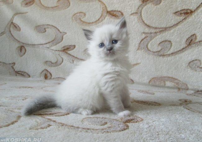 Котёнок невской маскарадной кошки