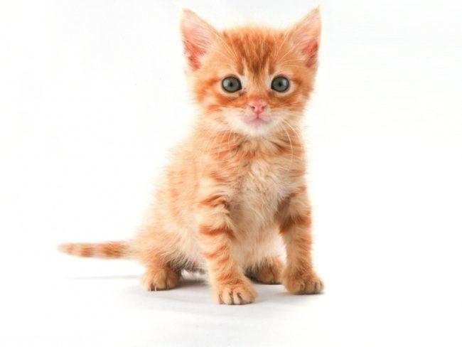 Рыжий пушистый котенок на белом фоне
