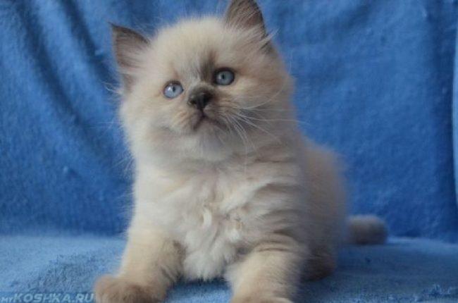 Пушистый котенок невской маскарадной кошки