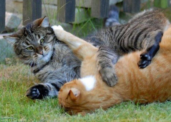 Драка между серым котом и рыжим котом на зеленой траве