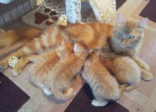 Рыжие пушистые котята и рыжая мама кошка