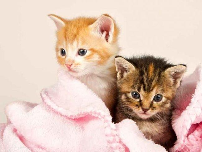 Два пушистых котенка в розовом одеяле