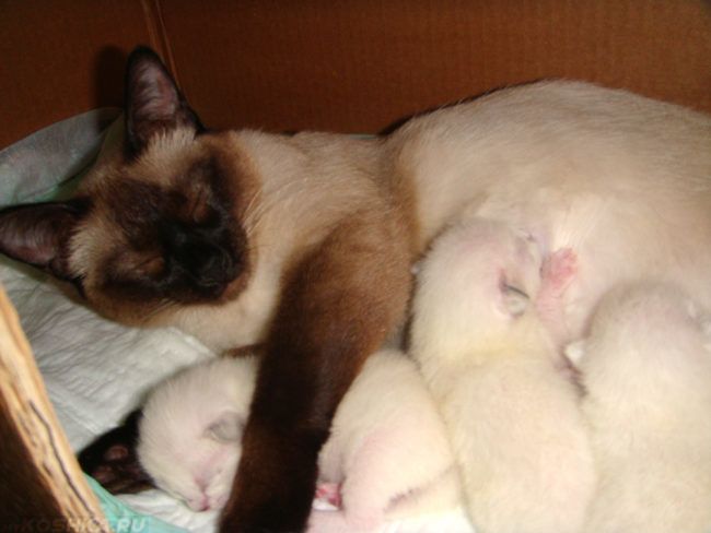 Белые котята у живота мамы кошки