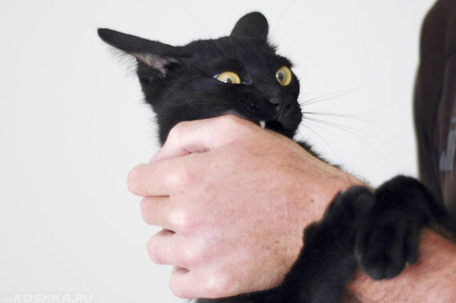 Чёрная кошка кусает за руку