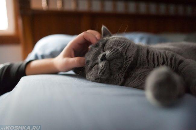 Ласковый серый кот и рука