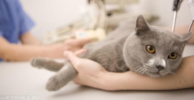 Серый кот на столе у ветеринара