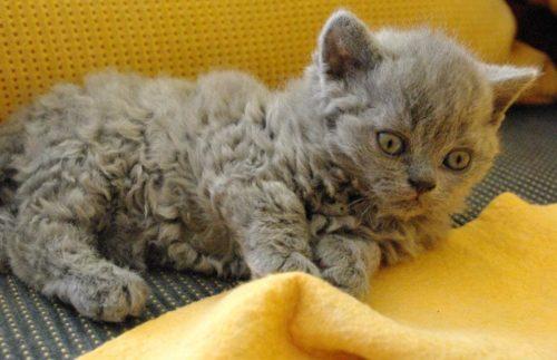 Серая кошка породы лэмкин