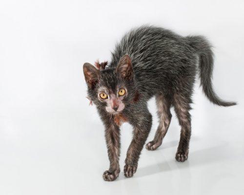 Кошка породы ликой на сером фоне