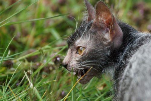 Кошка породы ликой и зеленая трава