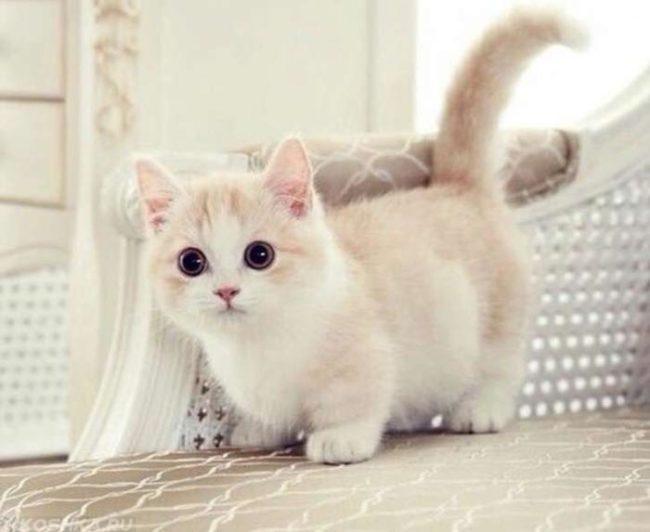 Кошка карликовой породы