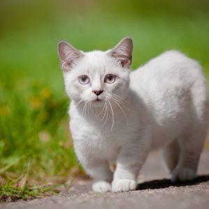 Белая кошка породы манчкин